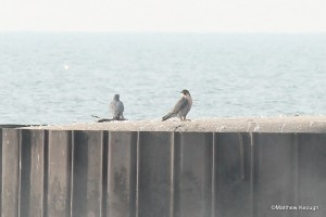 Falcons at Eastlake fishing pier